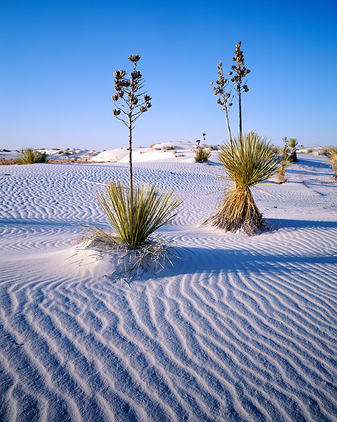 White Sands, Yucca, Alamogordo, Yucca, New Mexico, photo