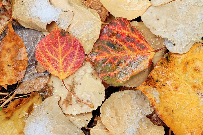Wild Basin,Autumn,Fall,Aspen,Leaves,Rocky Mountain National Park,Colorado,forest,snow, photo