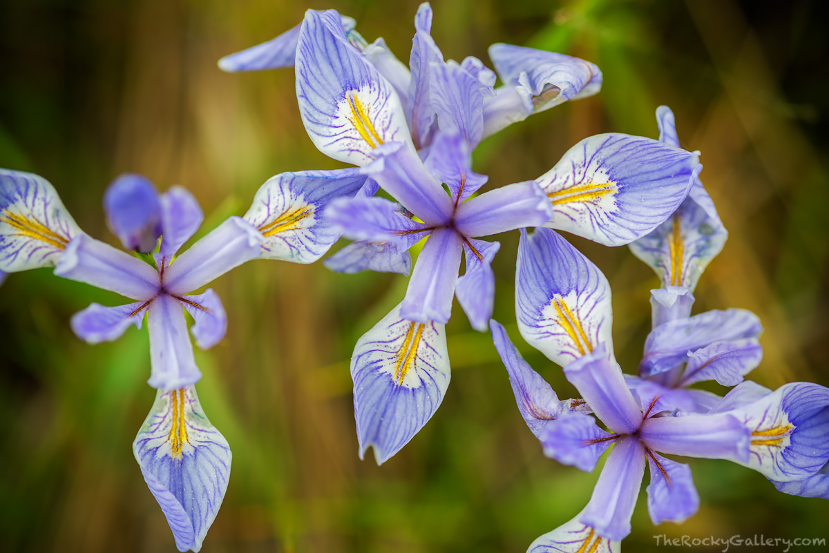 Wild Iris,Lower Beaver Meadows,RMNP,Estes Park,Rocky Mountain National Park,Colorado,Wildflowers,Landscape,Photography,Purple,June,Macro,Micro, photo