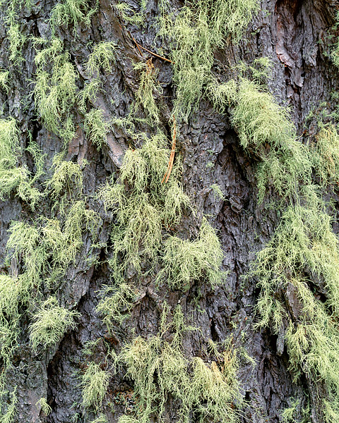 Moss grows on an older Spruce tree in the Wild Basin section of Rocky Mountain National Park. Spruces trees are common in Colorado...