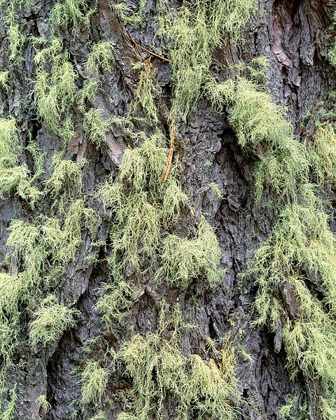 Rocky Mountain National Park, Colorado, Wild Basin, Spruce, photo