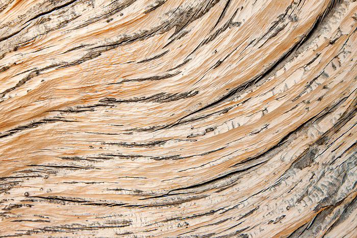 High atop Trail Ridge in Rocky Mountain Natoinal Park, the trunk of a former limber pine has been carved and sculpted by the...