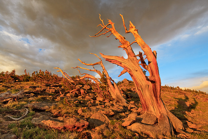 Rocky Mountain National Park, Colorado, Trail Ridge, Winds, Trees,krummholz,clouds, photo