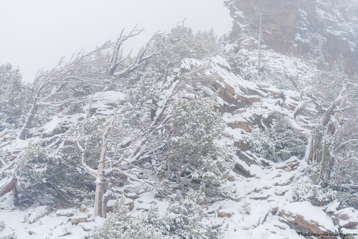 Windy Ridge,Rainbow Curve,Krummholz,Flag Trees,Treeline,Trail Ridge Road,Snow,Winter,RMNP,Rocky Mountain National Park,Colorado,Landscape,Photography,October,Storm,Estes Park,Grand Lake, photo