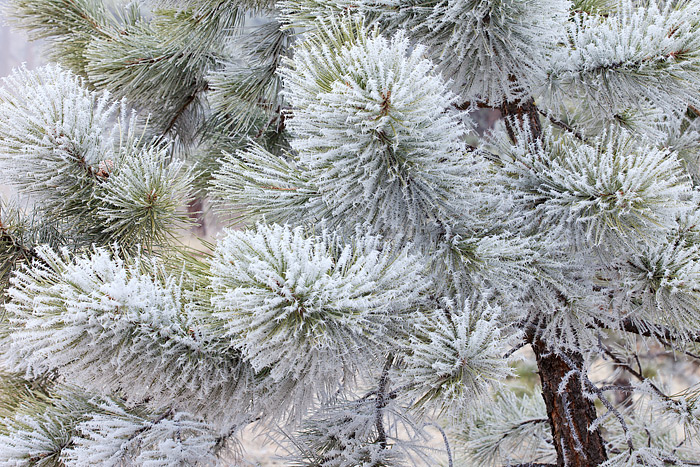 Rime ice coats the Ponderosa Pine tree's near the summit of Boulder's Flagstaff Mountain. Shooting in light fog and snow are...